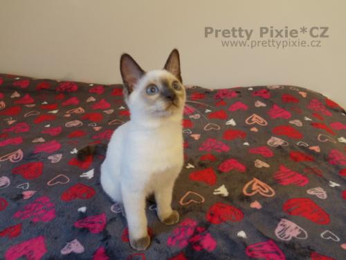 Amon Pretty Pixie, CZ