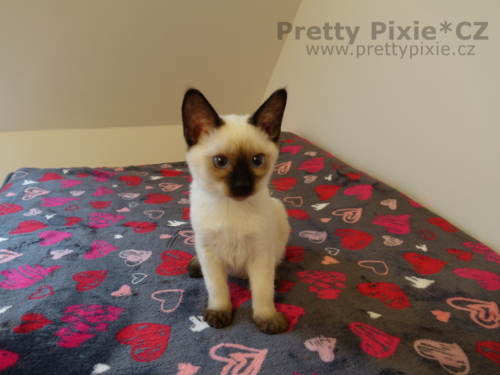 Azrael Pretty Pixie, CZ